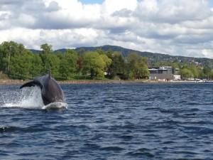 En delfin ikke langt fra Oslo Kajakklubb.                                                 Foto: Annett Brohmann